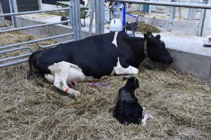 Safety during calving